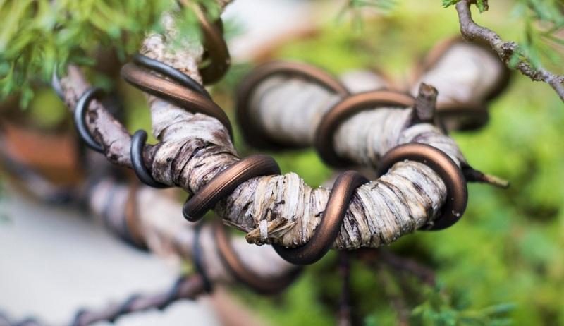 Beim Bonsai drahten werden Stamm oder Äste mit Draht umwickelt, solange sie noch biegsam sind, um sie in eine gewünschte Form zu zwingen.