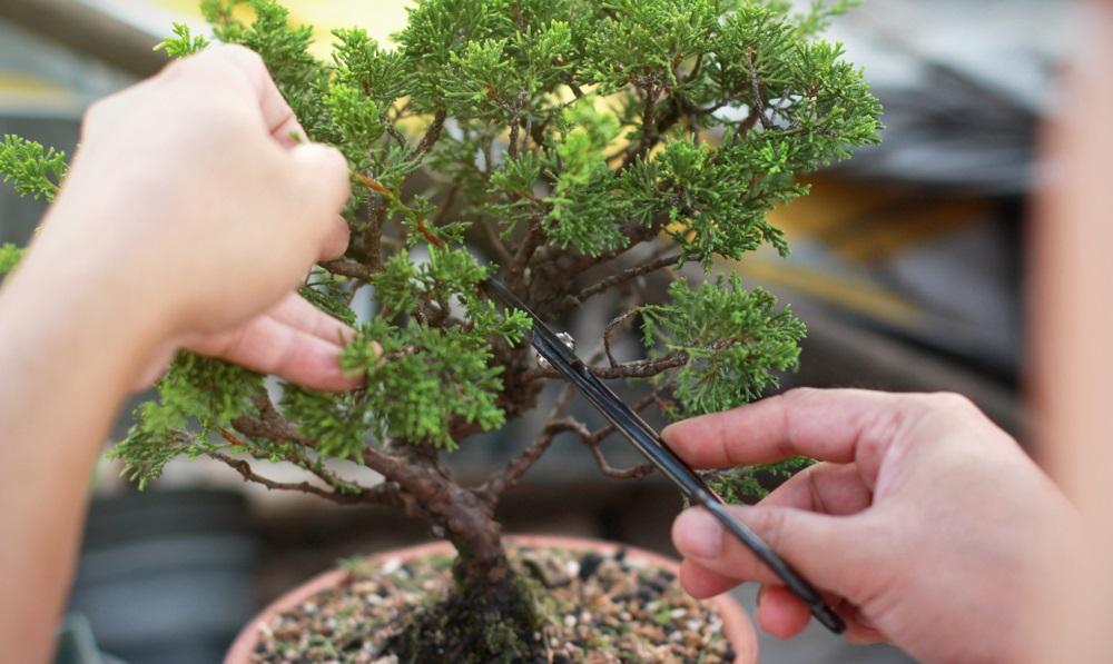 Bonsai schneiden: in 5 Schritten zum Minibaum