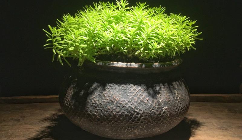 Teppichbildende Sorten können unter Welkekrankheiten leiden. Dann müssen die abgestorbenen Partien großzügig entfernt und die Erde vor einer Neupflanzung ausgetauscht werden.