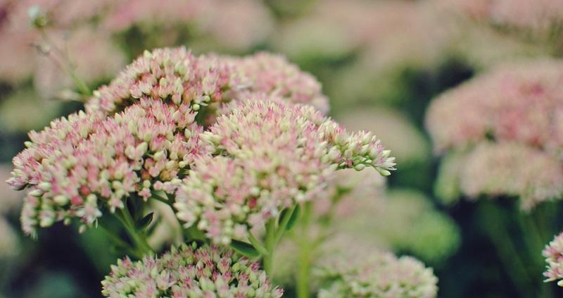 Diese Blüten sind begehrte Anflugziele von Insekten und Schmetterlingen.