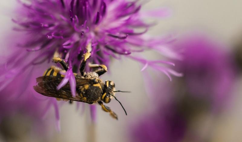 Die Gattung Flockenblume (botanisch Centaurea) zählt zur großen Familie der Korbblütler und umfasst etwa 500 Arten.
