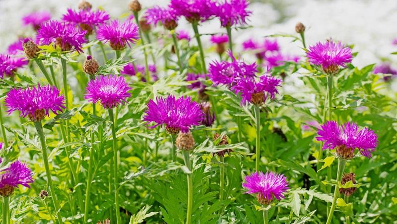 Flockenblumen können im Frühjahr ausgesät, als Pflanze gekauft oder geteilt werden. Für Neupflanzungen bietet die Bio-Gärtnerei Allgäustauden eine schöne Auswahl an Flockenblumen in verschiedenen Blütenfarben an.