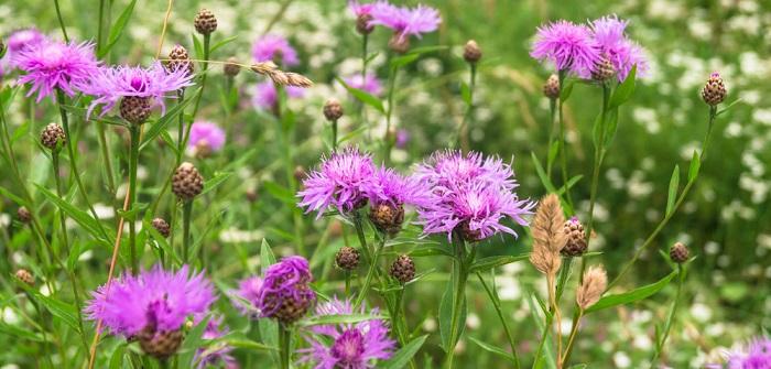 Flockenblume: Pflanzen, Pflege, Schnitt & Düngen