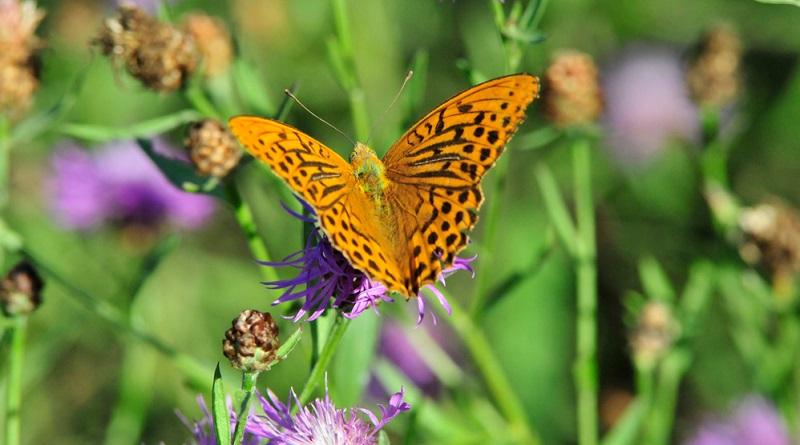 Die Flockenblume liebt einen leicht feuchten Boden, er sollte daher nie ganz austrocknen.