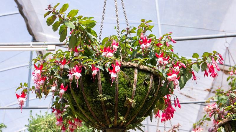 Fuchsien bezaubern aber vor allem durch ihre grazilen Glockenblüten, die überreich an den Pflanzen hängen und das bis zu den ersten Frösten.
