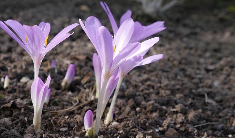 Die Inhaltsstoffe Alkaloide davon hauptsächlich das Colchicin, wird von Mai bis Juni aus den Samen der Herbstzeitlose gewonnen