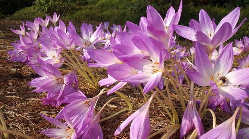 Auf Beeten bilden die Herbstzeitlose mit ihrer schönen Blütenfarbe eine harmonische Kombination mit niedrig wachsenden, bunten Ziergräsern.