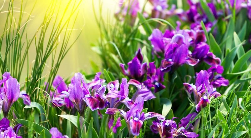 Die Verwendung von Schwertlilien ist vielfältig. Von höheren Stauden im Beet oder am Teichrand bis zum Steingarten oder im Topf zeigen sie ihre Blütenpracht.
