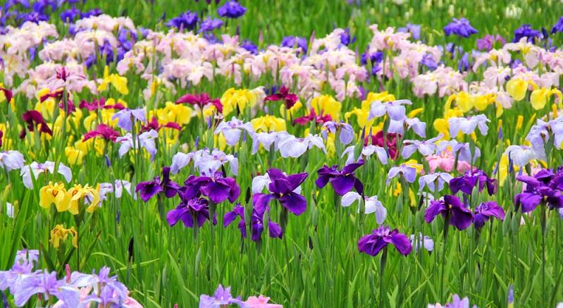 Die faszinierenden Blüten dieser Stauden mit ihrer Farb- und Formenvielfalt erstaunen immer wieder. Charakteristisch sind die schmalen, schwertartigen Blätter, Speicherorgane sind die Rhizome, Knollen und Zwiebel.