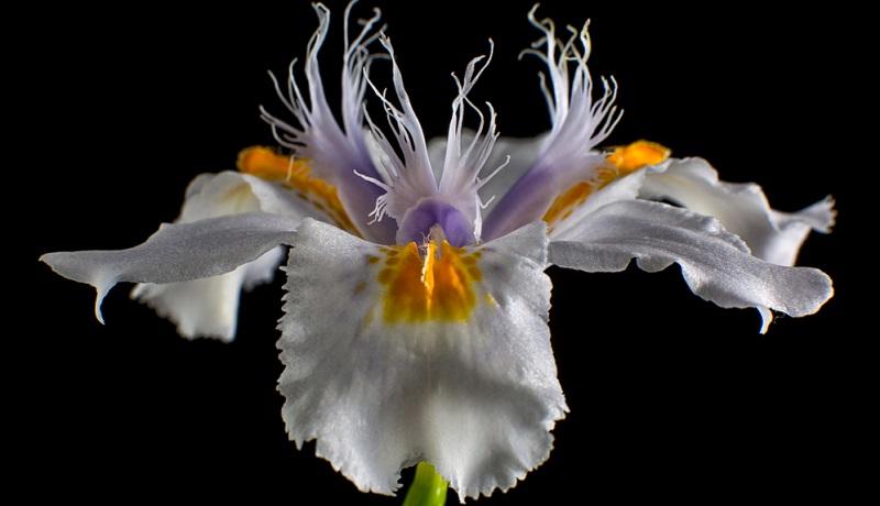 Die Blüten der Iris sind dreiteilig und wirken bei einigen grazil, bei anderen wiederum recht üppig.