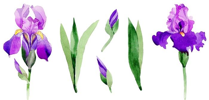 Iris: Pflanzen, Pflege, Vermehren