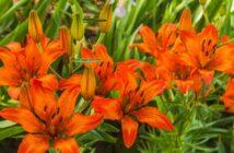 Lilien richtig pflanzen und pflegen