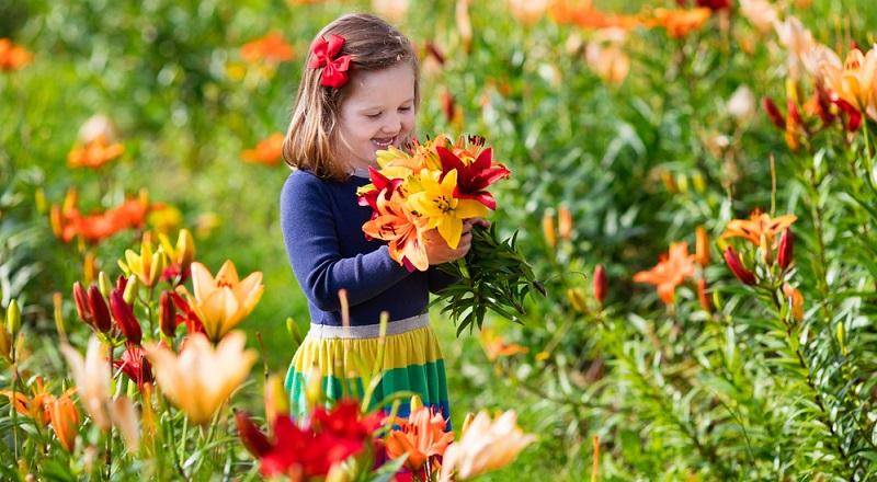 Lilien sind als Schnittblumen bestens geeignet. Allerdings sollte man nur alle zwei Jahre von der gleichen Pflanze Blumen schneiden, da sie sonst zu stark geschwächt wird.