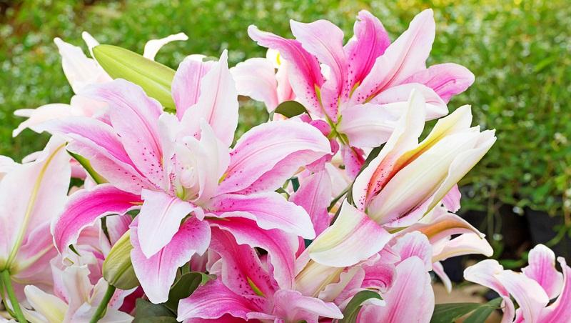 Die meisten Lilien bevorzugen sonnige, ungestörte Plätze, die durch Sträucher oder höhere Stauden etwas Windschutz bieten.