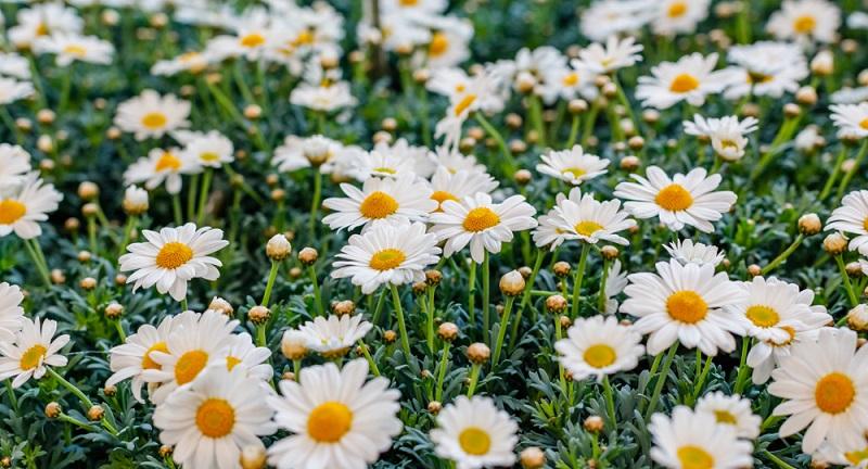 Die Gattung der Margeriten (botanisch Leucanthemum) gehört zur Familie der Korbblütler. Sie umfasst etwa 42 Arten, die bekannteste davon ist die Wiesen-Margerite.