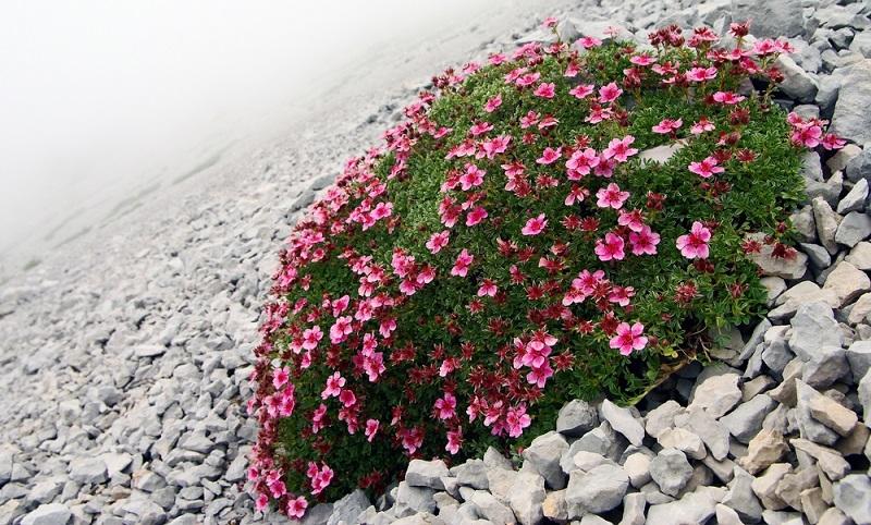 Idealer Pflanztermin für Fingerkraut ist im zeitigen Frühjahr, etwa März/April.