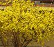 Forsythie: Pflanzen, schneiden & pflegen