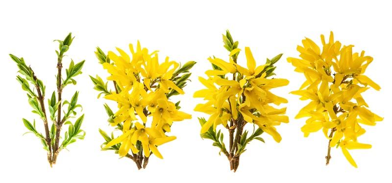 Die Forsythie wird meistens als kleiner Strauch im Topf angeboten. Sie lässt sich jedoch auch leicht durch Stecklinge vermehren und wächst rasch.