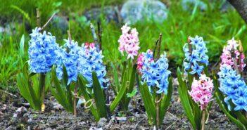 Hyazinthen: Pflanzen, Pflege & übersommern
