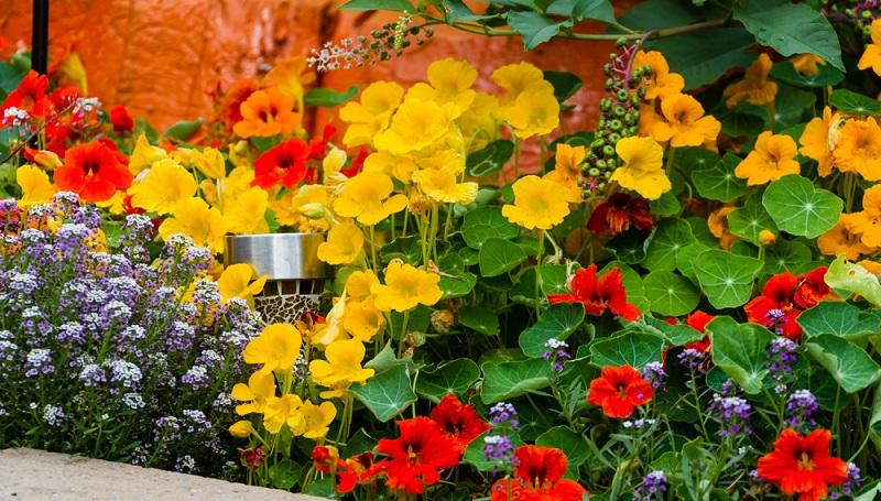 Die Kapuzinerkresse hat ihren Namen wegen der trichterförmigen Blüten, die wie eine Kopfbedeckung der Kapuziner-Mönchskutten aussehen.