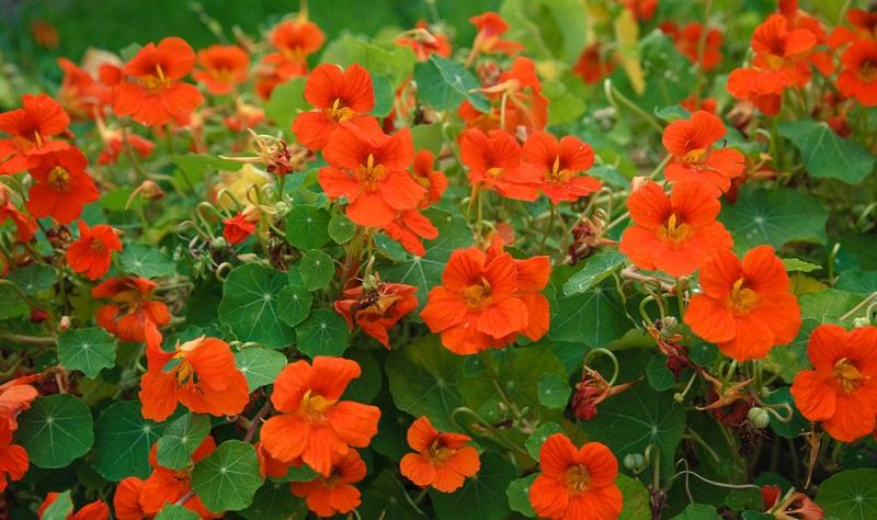 Durch ihr üppiges Laub und den sonnigen Standort verdunstet die Pflanze viel Wasser, deshalb ist regelmäßiges Gießen besonders wichtig.