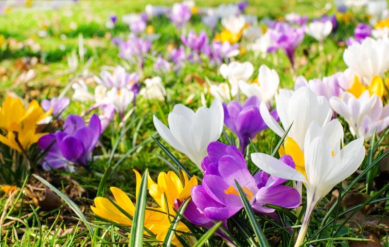 Die Blütenfarben sind überwiegend gelb, violett und weiß, außerdem gibt es gestreifte zweifarbige Sorten. (#05)