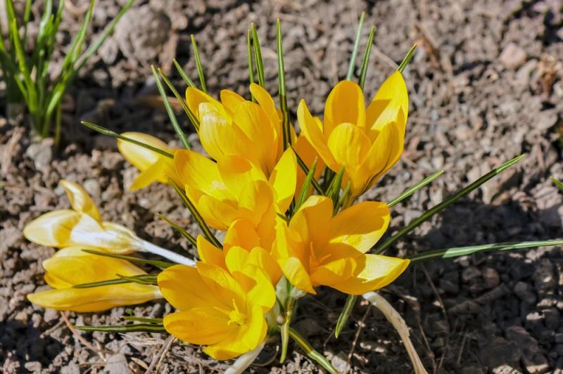 Der Krokus gedeiht in nahezu jedem Boden sofern er locker und gut durchlässig ist. In zu feuchten Böden oder bei Staunässe verfaulen die Knollen. (#02)