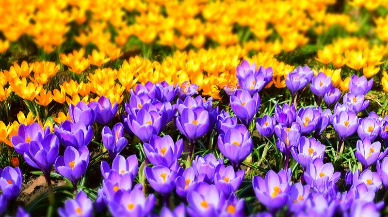 Gelbe Krokusse sind natürlich sehr beliebt, da sie besonders leuchten und nach den Wintermonaten die Sinne ansprechen. Doch auch die dezenteren Farbtöne haben ihren Reiz. (#06)
