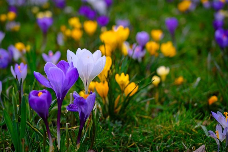 Krokusse wachsen nicht aus Blumenzwiebeln, sondern aus kleinen, flachen Knollen, die fälschlicherweise oft als Blumenzwiebeln bezeichnet werden. (#04)