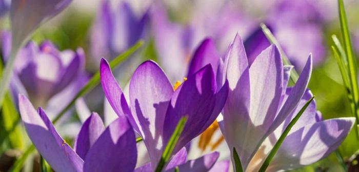 Krokus: Pflanzen, pflegen & Standort
