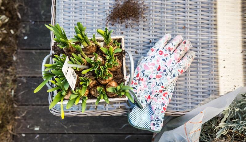 Bei Osterglocken darf der Boden immer leicht feucht sein, vor allem während der Blütezeit.