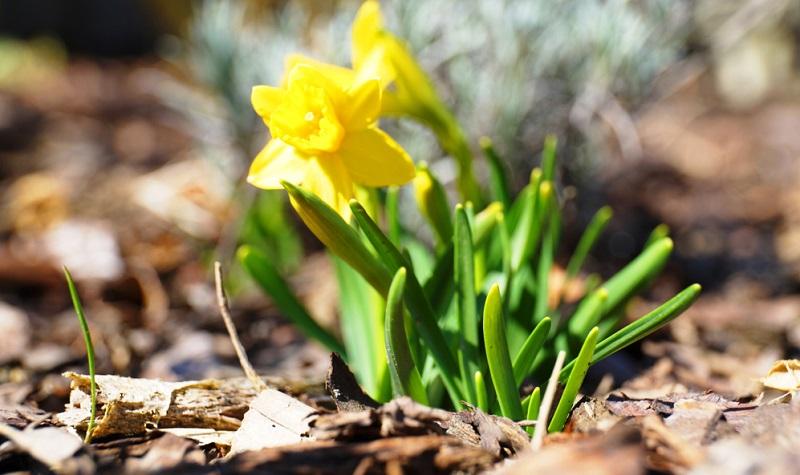 Osterglocken sind Giftpflanzen, bei denen vor allem die Zwiebeln giftig sind und allergische Hautreaktionen auslösen können.