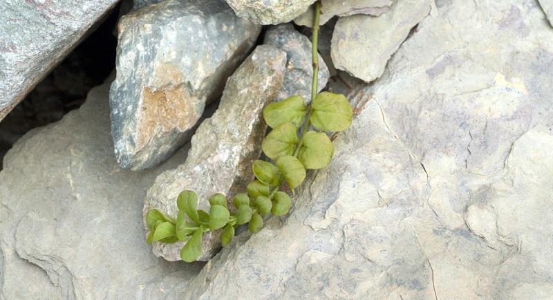 Es gibt verschiedene Sorten an Pfennigkraut, meist unterscheiden sich die Kräuter in der Laubfärbung oder in ihrer Wuchsfreudigkeit.