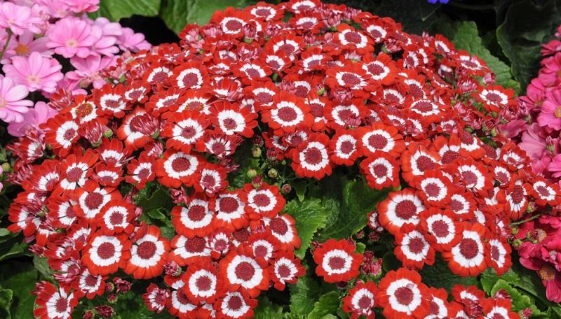 Fliederprimel, Primula malacoides, einjährige Zimmerpflanze. Blüht ab Anfang des Jahres für mehrere Wochen, duftende, zarte Blütenstände in verschiedenen Rottönen. Standort hell bis halbschattig bei 10-15 Grad.