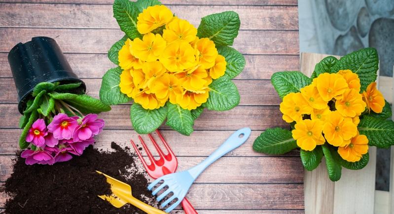 Im Frühjahr bieten Gärtnereien und Baumärkte die Primelpflanzen in zahlreichen leuchtenden Farben an.