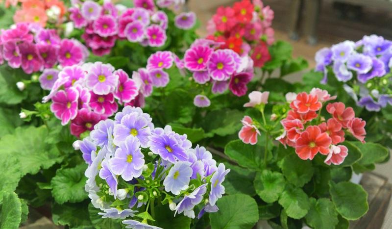 Becherprimel, Primula obconica, mehrjährige Zimmerpflanze, kann das ganze Jahr über blühen, größter Blütenreichtum im Frühjahr. Farben: von hellem Lachs über Dunkelrot bis zu Lavendelblau. Standort hell bis halbschattig bei etwa 15 Grad.