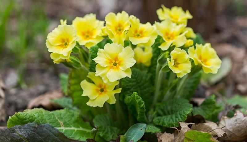 Primeln sind robust, pflegeleicht und winterhart. Neben gleichmäßiger Wasserversorgung ist es während der Blütezeit wichtig, verwelkte Blüten, gelbe Blätter und beschädigte Pflanzenteile zu entfernen.