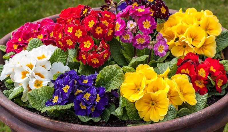 Der Standort der Primel sollte sonnig bis halbschattig, luftig, aber ohne pralle Sonne sein. Dadurch verlängert sich die Blütezeit. (#01)