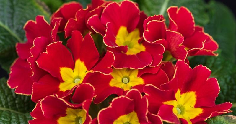 Im Frühjahr vor der Blüte kann man um die Primel Kompost oder organischer Dünger in die Erde einarbeiten.