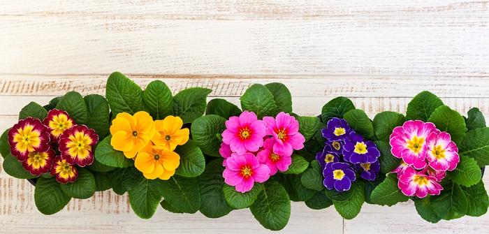 Primel: Pflanzen, pflegen & vermehren