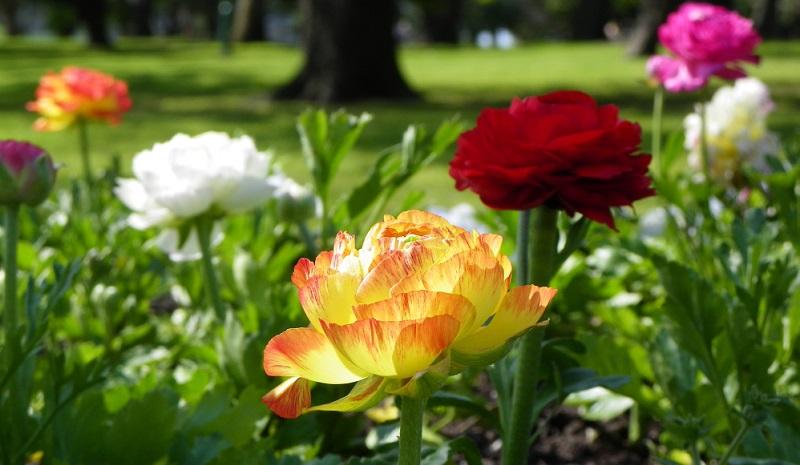 Die Ranunkel wächst nicht aus Blumenzwiebeln sondern aus einer klauenartigen Wurzelknolle.