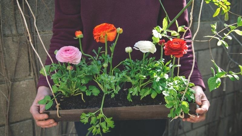 Als leuchtende Frühjahrsblüher werden Ranunkeln überwiegend in Töpfe und Blumenkästen gepflanzt.