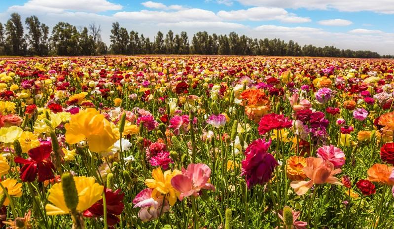 Ihre prachtvollen Blüten strahlen in leuchtendem Gelb über Orange, Rosa und Pink, bis hin zu kräftigen Rottönen und Weiß.