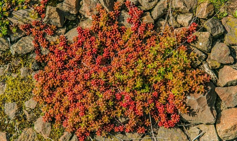 Coral Carpet, Rotmoos-Mauerpfeffer. Dicht wachsende heimische Wildart, Höhe 5-10 cm, Blütenfarbe weiß, Blütezeit Mai-Juni.