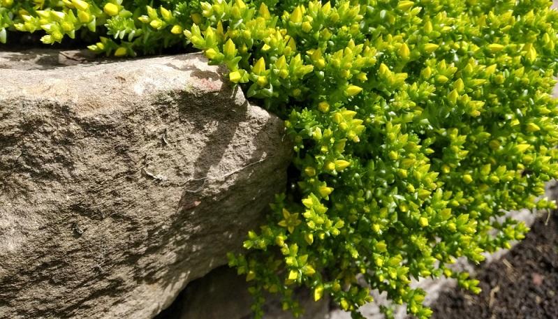 Wie bei den meisten Sedumarten werden auch bei Sedum acre die Blätter als Fettblatt bezeichnet. Das bedeutet, die Blätter speichern das Wasser, so dass Gießen nur in extrem langen Trockenperioden notwendig ist.