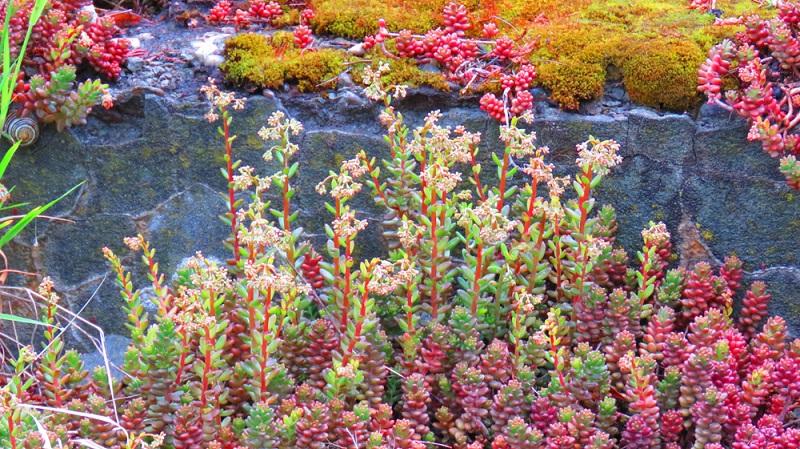 Sedum sexangulare, bodendeckende, heimische Art, wuchert nicht so stark wie Sedum acre. Höhe 5-10 cm, kleine, gelbe Blüten. Blütezeit Juni-Juli. Milder Geschmack, giftig, winterhart.