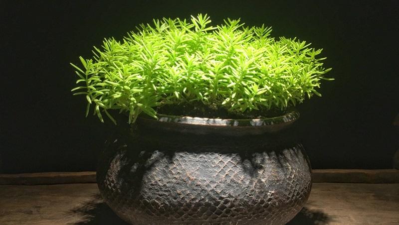 Bei zu nährstoffreichem und/oder zu feuchtem Boden kann Mehltau auftreten.