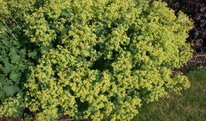 Unsere Idee zur Gartengestaltung: Der Bodendecker Frauenmantel.