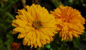 Das Sonnenauge: Eine prima Idee für Ihre Gartengestaltung.