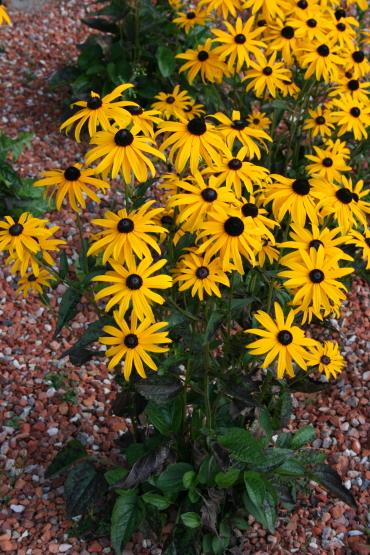 Die Rudbeckia Goldsturm ist eine tolle Gartengestaltung Idee.